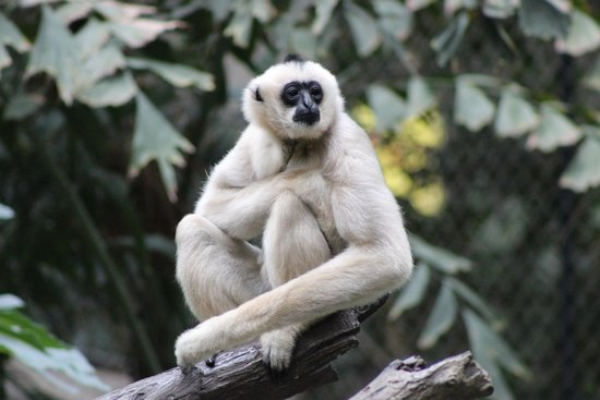 Minnesota Zoo : Gibbon.