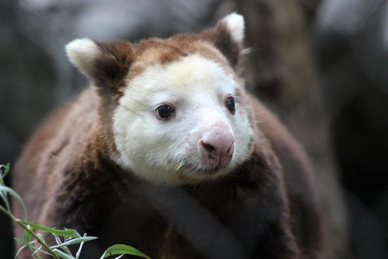 Minnesota Zoo : Tree Kangaroo.