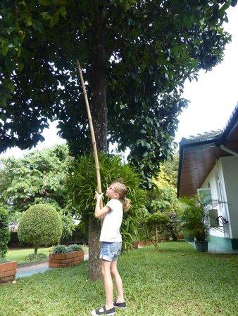 Swetha Villa : cueillette de mangouste dans le jardin
