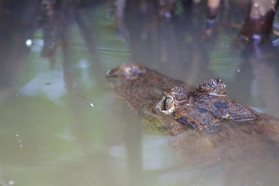 La Loma Jungle Lodge and Chocolate Farm : Caiman in the mangroves
