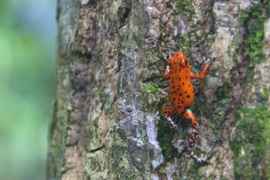 La Loma Jungle Lodge and Chocolate Farm : Plenty of red frogs at La Loma!