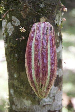 La Loma Jungle Lodge and Chocolate Farm : Visit of the farm