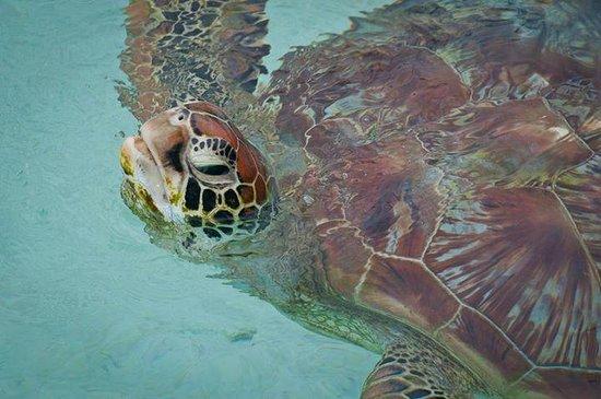 Bora Bora Lagoonarium: Turtle
