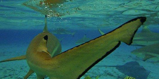 Bora Bora Lagoonarium: Swimming with sharks