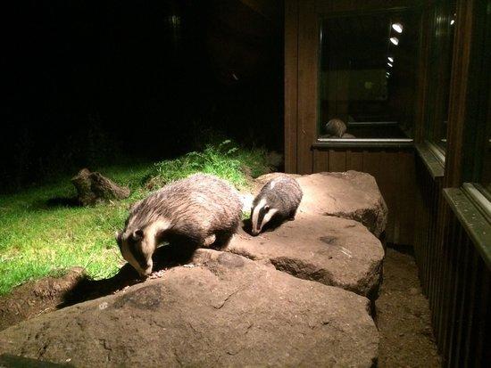 Speyside Wildlife: Badgers!