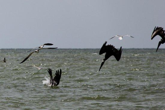 Dreamlander Tours: Pelicans diving 2