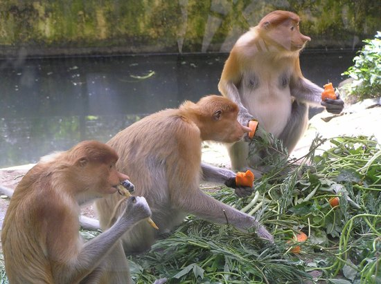 Lok Kawi Wildlife Park: Three female probicus monkeys