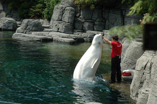 Vancouver Aquarium: Vancouver Acquarium, Beluga show