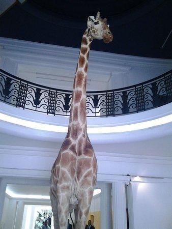 Museo de Ciencias Naturales: jirafa
