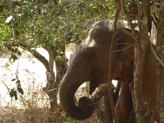Cinnamon Wild Yala: The elephant by the pool area
