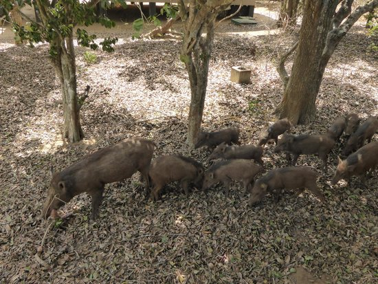 Cinnamon Wild Yala : Family of wild boar