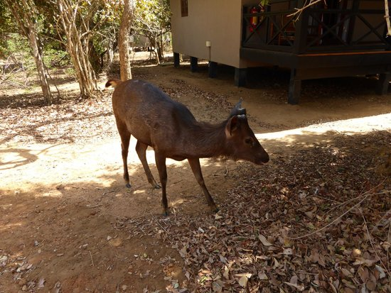 Cinnamon Wild Yala : Deer in the hotel grounds