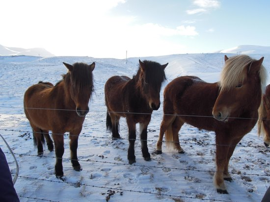 Tour.is - Day Tours: Icelandic horses. only got to touch them
