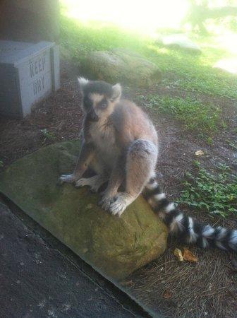Jardines Busch: Ring-tailed lemur at Busch Gardens
