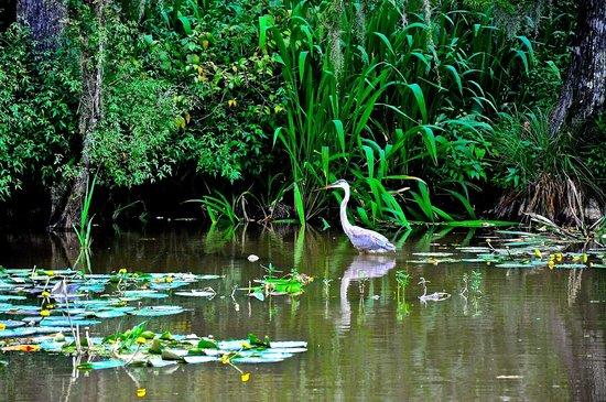 Cajun Encounters: Great Blue Heron