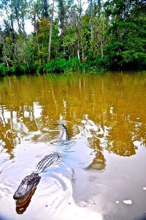 Cajun Encounters: Another Gator