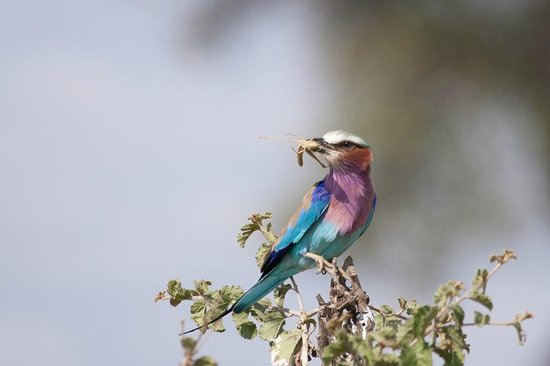 Warrior Trails Day Tour: Lilac breasted roller with a cricket in Tarangire National Park