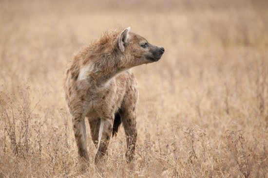 Warrior Trails Day Tour: Spotted hyena in Ngorongoro Crater
