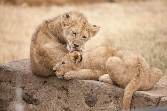 Warrior Trails Day Tour: Lion cubs in Ngorongoro Crater