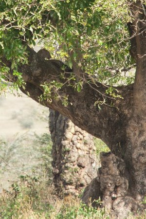 Warrior Trails Day Tour: Leopard in Ngorongoro Crater