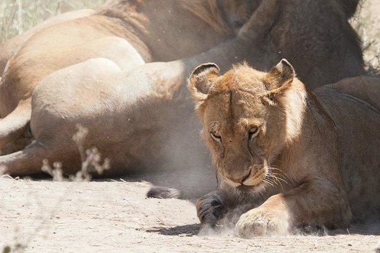 Warrior Trails Day Tour: Lion in Serengeti National Park