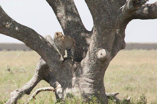 Warrior Trails Day Tour: Leopard in Serengeti National Park