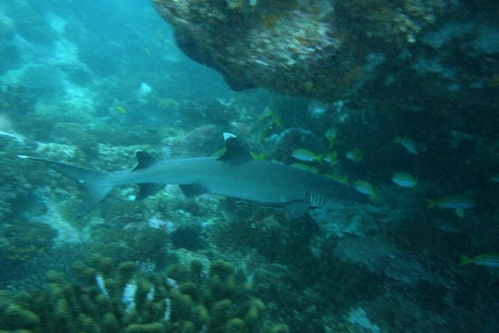 Octopus Diving Center: Requin pointe blanche sur Bobby
