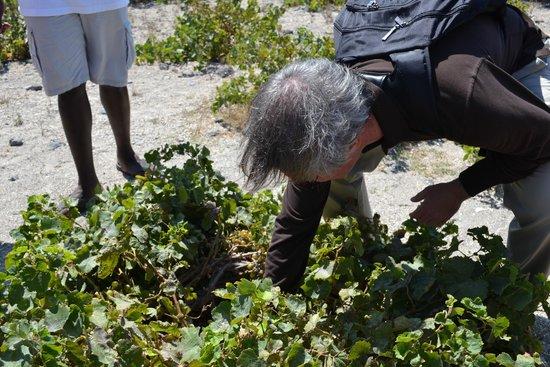 Santorini Wine Adventure : Boutari vineyard