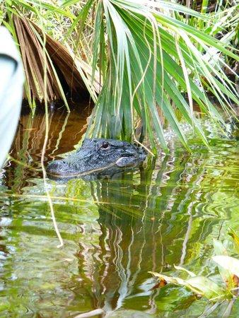 Billie Swamp Safari: Alligator aperçu lors du tour en airboat