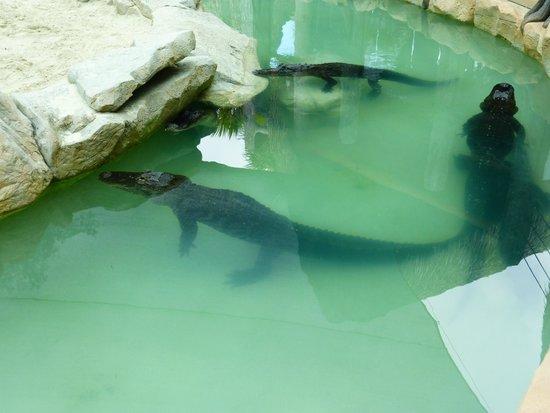 Billie Swamp Safari: alligators du parc