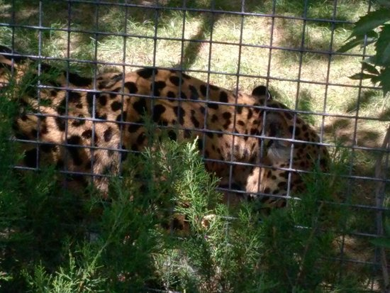 ABQ BioPark Zoo: he/she walked up and down the fence line showing off