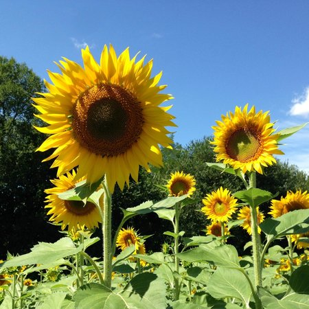 The Hidden Farmhouse: Field of sunflowers in the surrounding area