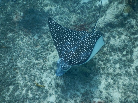 Creole Rock Water Sports: Spotted Eagle Ray