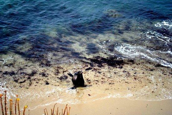 La Jolla Cove: Seal