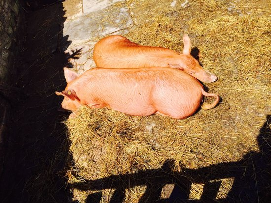 Green Haven Guest House: Pigs from Palmer's Farm just outside Stratford