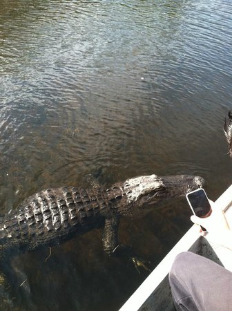Everglades City Airboat Tours: Gator tried to climb in