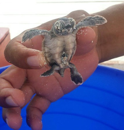 Valentin Imperial Maya : Rescued Baby Sea Turtle....Adorable!!!!