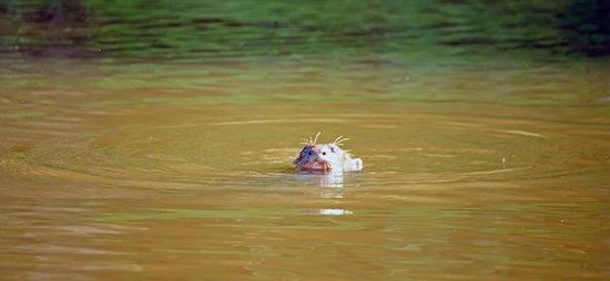 Posada Amazonas : Giant river otter at local ox bow lake