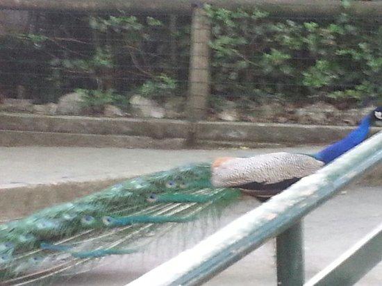 Giardino Zoologico di Pistoia : Pavone