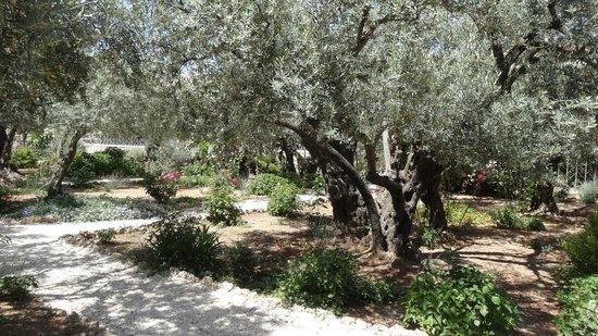 Garden of Gethsemane : здесь растут 8 очень древних олив, которые растут здесь с 1-ого века нашей эры