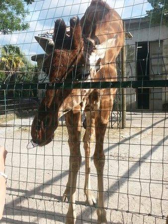 Giardino Zoologico di Pistoia : Giraffa affamata