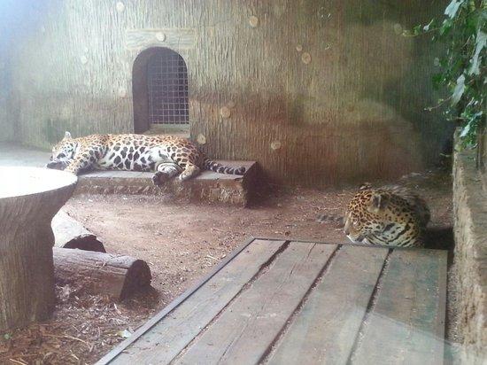 Giardino Zoologico di Pistoia : Leopardi