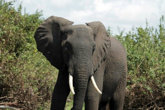 Selous Impala Camp: Elephant fresh from the river