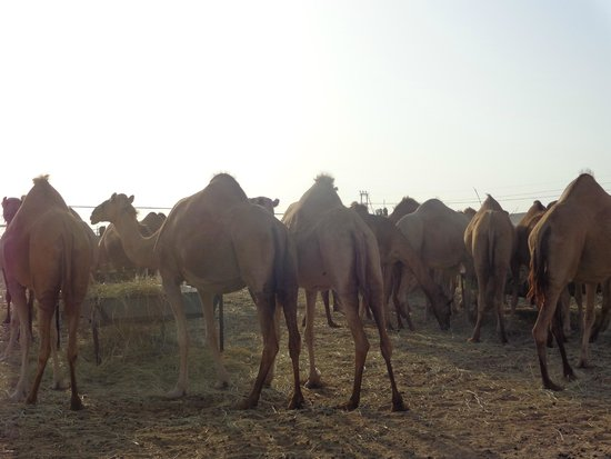 Emirates Tours and Safaris: Camel seeing