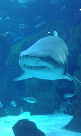 Acuario de Gijon : Tiburón Toro!