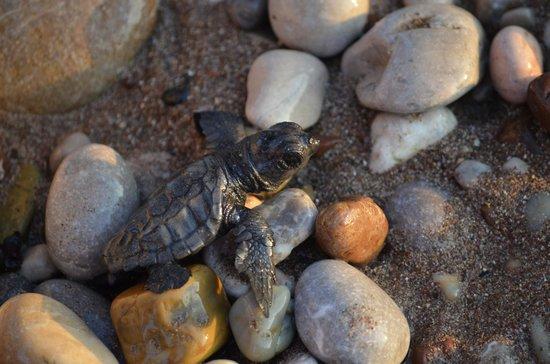Canada Hotel Cirali Olympos: BB tortue