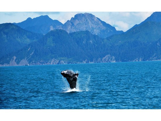 Kenai Fjords National Park: Jump of whale