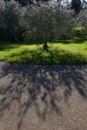 Kowhai Close : Olive tree by the parking pad