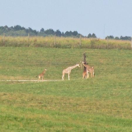 Wild Zipline Safari: a couple baby giraffes!