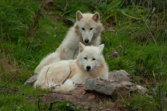 Safari Zoo: two happy wolves